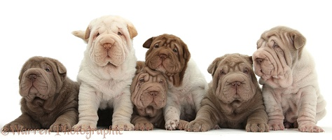 Six Shar Pei pups