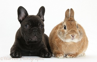 French Bulldog pup and rabbit