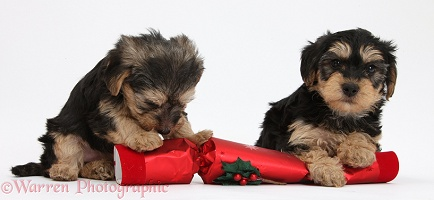 Yorkipoo pups with a Christmas cracker