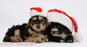 Yorkipoo pups wearing Santa hats