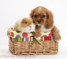 Ruby Cavalier pup and Guinea pig in a basket