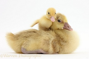 Yellow gosling and duckling