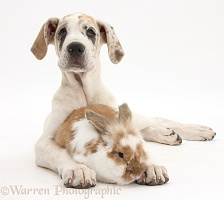 Bunny rabbit with Great Dane puppy