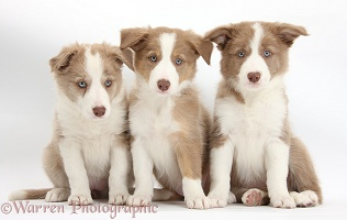 Three Lilac Border Collie pups