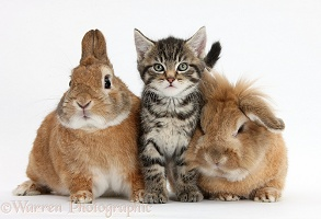 Cute tabby kitten with rabbits