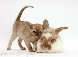 Burmese kitten and rabbit