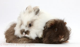Shaggy Guinea pig and fluffy rabbit