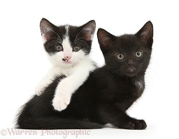 Black and black-and-white tuxedo kittens