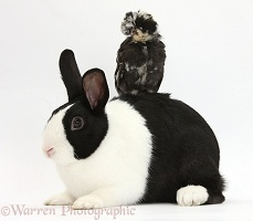 Polish chicken chick and black-and-white Dutch rabbit