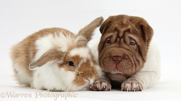 Shar Pei pup and rabbit