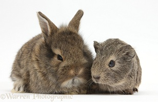 Young agouti rabbit and Guinea pig