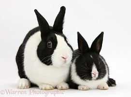 Dutch rabbit and black-and-white baby bunny