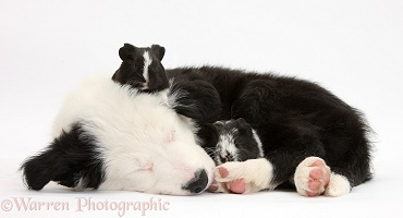 Seeping Border Collie pup and Guinea pigs