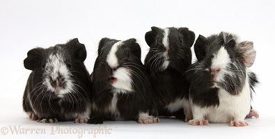 Young black-and-white Guinea pigs
