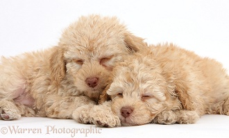 Two sleepy toy Labradoodle puppies