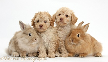 Toy Labradoodles and fluffy bunnies