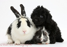 Toy Labradoodle with Guinea pig and rabbit