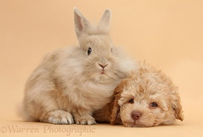 Toy Labradoodle puppy and fluffy bunny