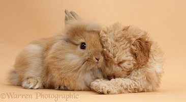 Sleepy Toy Labradoodle puppy and fluffy bunny