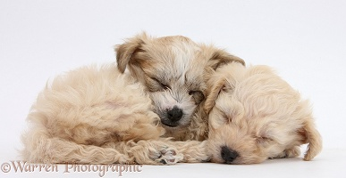 Cute sleeping Bichon x Yorkie pups