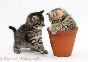 Cute tabby kittens with a flowerpot