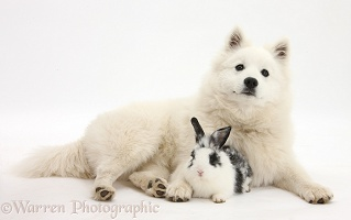 White Japanese Spitz dog and black-and-white rabbit