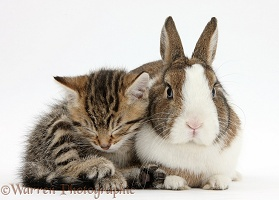 Cute sleepy tabby kitten and rabbit