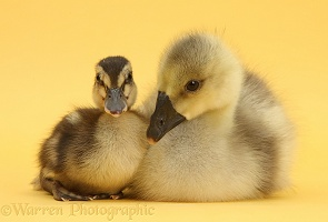 Gosling and duckling together on yellow background