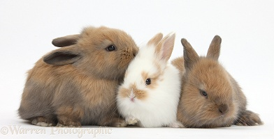 Three baby bunnies