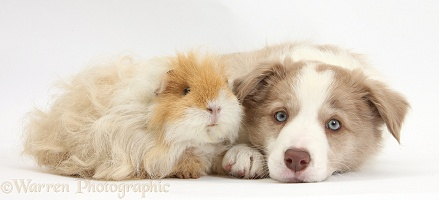 Lilac Border Collie pup and Guinea pig