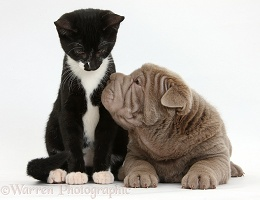 Shar Pei pup and Black-and-white kitten
