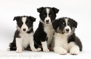 Three Black-and-white Border Collie pups