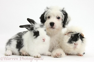 Jack-a-poo pup with Dutch rabbit and Guinea pig