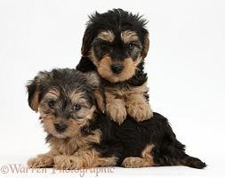 Yorkipoo pups, 7 weeks old