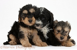 Three Yorkipoo pups, 7 weeks old