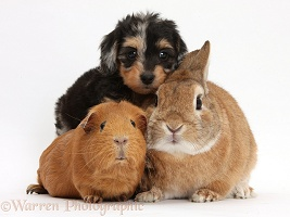 Daxiedoodle pup with Guinea pig and rabbit