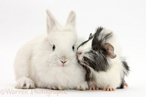 White rabbit and black-and-white Guinea pig