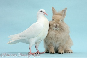 White dove and fluffy bunny on blue background