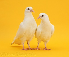 Two white doves on yellow background