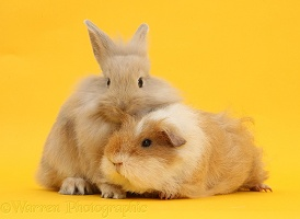 Shaggy Guinea pig and fluffy bunny on yellow background