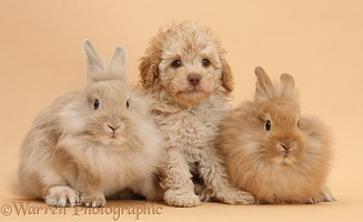 Toy Labradoodle puppy and fluffy bunnies