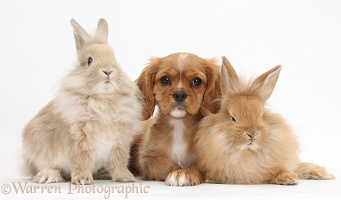 Ruby Cavalier pup and fluffy bunnies