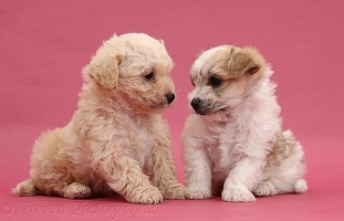 Cute Bichon x Yorkie pups kissing on pink background