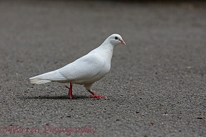 White Pigeon walking