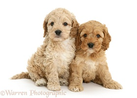 Two Cockapoo pups