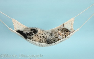 Cute tabby kitten asleep in a hammock