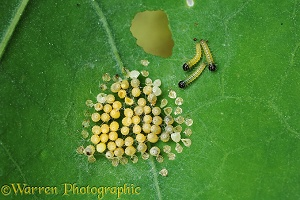 Large White Butterfly eggs