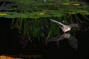 Brown Long-eared Bat drinking