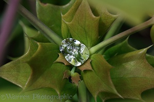 Raindrop collected in Mahonia