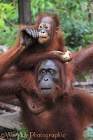 Orang utan mother and baby